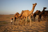 Camels Crossing the Desert — Stock Photo