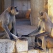 Stock Photo: Langur Monkeys