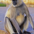 Langur Monkey - Stock Photo