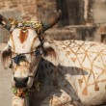 Kutsal inek — Stok fotoğraf