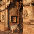 Cow Entering Hindu Temple - Stock Photo