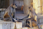 Langur Monkeys — Stock Photo