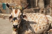 Sacred Cow — Stock Photo