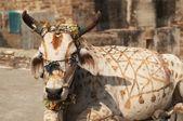 Heilige koe — Stockfoto