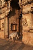Cow Entering Hindu Temple — Stock Photo