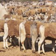 Nagaur Livestock Market — Stock Photo #9324433