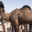 Decorated Camel - Stock fotografie