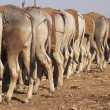 Nagaur Cattle Market — Stock Photo #9324521