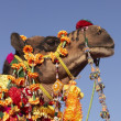 Portrait of a Decorated Camel - Stock fotografie