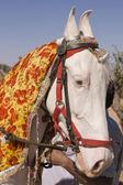 étalon blanc marwari — Photo