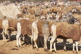 Nagaur Livestock Market — Stock Photo