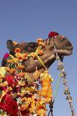 Ritratto di un cammello decorato — Foto Stock