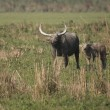 Wild AsiBuffalo — Stock Photo #9522730