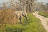 Asian Elephant — Stock Photo