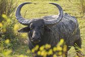 Wild Bull Asiatic Buffalo — Stock Photo