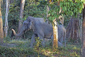 Bull Asian Elephant in the Forest — Stock Photo