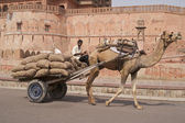 Camel Cart — Stock Photo