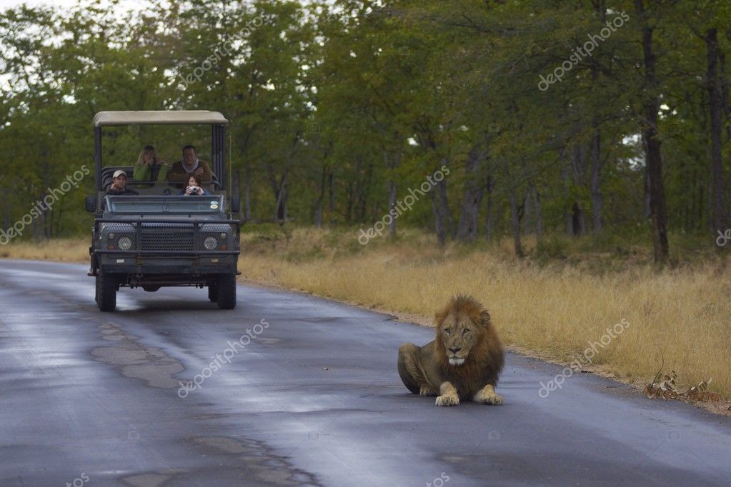 Tourists in a vehicle watch a large male lion lying down on a road in Kruger National Park, South Africa — Stock Photo #9694011