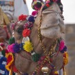 Decorated Camel — Stock Photo #9945878