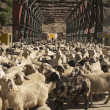 Sheep Blocking the Road — Stock Photo