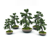 Bonsai isolated on white background — 图库照片