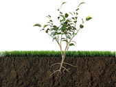 Plant in soil section — Stock Photo