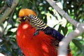 The Golden Pheasant or Chinese Pheasant, Chrysolophus pictus — Stock Photo