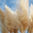Pampas dominate with a cloudy sky background — Stock Photo