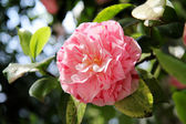 Featured pink camellia — Stock Photo