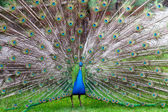The beauty of a peacock — Stock Photo