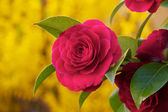 Camelia photographed up close — Stock Photo