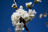 Cherry blossom, with a sky blue background — Stock Photo