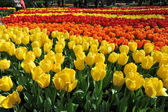 Sea of tulips — Stock Photo