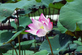 Beautiful waterlily — Stock Photo