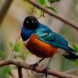 Superb starling in tree — Stock Photo