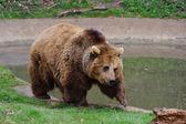 行走的熊 — 图库照片
