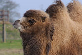 Camel chewing grass — Stock Photo