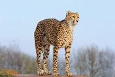 Cheetah arching back — Stock Photo