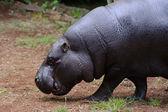 Pygmy hippo walking — Stock Photo