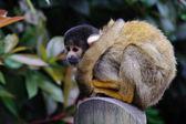 Sama małpa wiewiórki — Zdjęcie stockowe