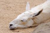 Lama sleeping — Stock Photo