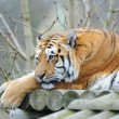 Tiger resting — Stock Photo