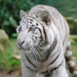 White tiger big eyes — Stock Photo
