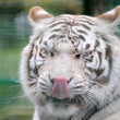 White tiger licks lips — Stock Photo
