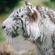 White tiger profile — Stock Photo