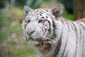 White tiger alert — Stock Photo