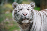White tiger with mouth open — Stock Photo
