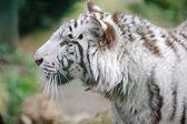 White tiger profile — Stock Photo