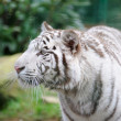 White tiger stalking — Stock Photo #9620004