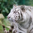 Stock Photo: White tiger wags its tail